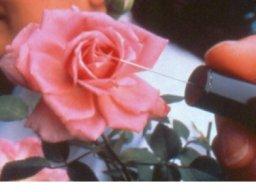 rose284.jpg
