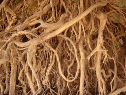 alessandro_paiva_roots